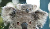 Billabong Koala and Wildlife Park - Northern Rivers Accommodation